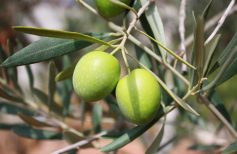 Blessed olive branches at Easter: should you keep them or throw them away?